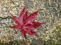Free Red Leaf Of Japanese Maple Royalty Free Stock Photo - 27772625