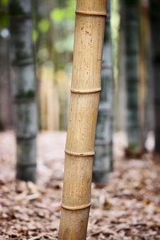 Free Bamboo Forest Royalty Free Stock Image - 27771226