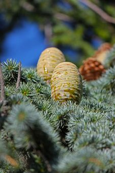 Free Pine Cone Closeup Stock Photo - 27775100