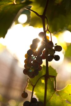 Free Grapes In The Sun Stock Photos - 27776333