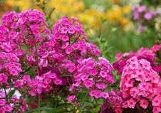 Flowers Phlox, Summer Meadow Stock Image