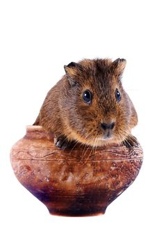 Free The Guinea Pig Sits In A Clay Pot Royalty Free Stock Photos - 27782918
