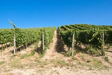 Free A Vineyard In Italy Stock Image - 27785311