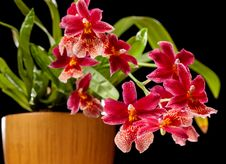 Free Orchid Royalty Free Stock Photography - 27789237