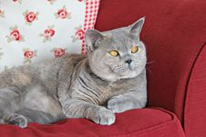 Free Pedigree Shorthair Cat On Sofa Royalty Free Stock Photo - 27789485