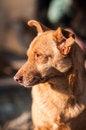 Free Portrait Of A Mongrel Dog Stock Photos - 27796243