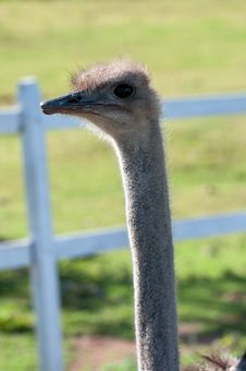Free Ostrich With Long Neck Royalty Free Stock Images - 27792249