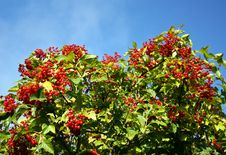 Ripe Guelder-rose Royalty Free Stock Images
