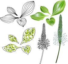 Free Set Of Leaves And Flowers Of Plantain Stock Image - 27799921