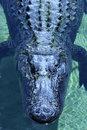 Free Gator Stock Photography - 2789572