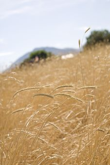 Free Wheat Field Royalty Free Stock Images - 2780019