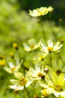 Free Yellow Daisy Flowers Royalty Free Stock Photos - 2780348