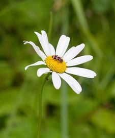 Free Daisy In The Garden Stock Photography - 2782722