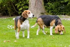 Free 2 Beagles Stock Photos - 2782933