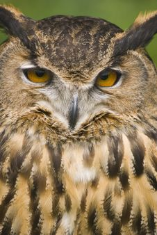 European Eagle Owl Royalty Free Stock Photography