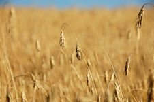 Free WHEAT BEFORE HARVEST Royalty Free Stock Image - 2784026
