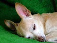 Free Chihuahua Royalty Free Stock Photo - 2785085