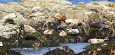 Free Harbor Seals Royalty Free Stock Photography - 2785097