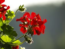 Free Red Flower Stock Photo - 2785590