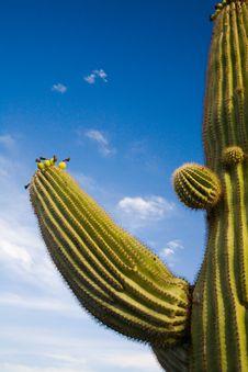 Free Suguaro Cactus Evening Sun Royalty Free Stock Photography - 2785847