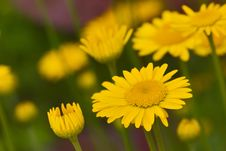 Free Yellow Chamomile Flower Royalty Free Stock Photography - 2787447