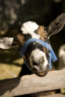Free Old Goat Royalty Free Stock Photography - 2789437
