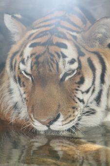 Free Swimming Tiger Royalty Free Stock Photography - 2789537