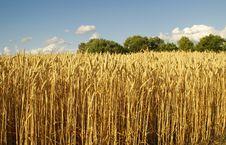 Free Gold Wheat Stock Photos - 2789543