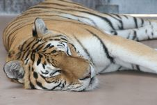 Free Sleeping Tiger Royalty Free Stock Photography - 2789547