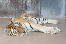 Free Sleeping Tiger Stock Photo - 2789560