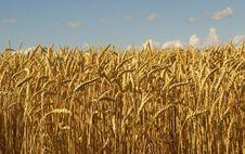 Free Gold Wheat Stock Image - 2789561