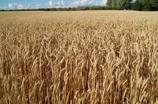 Free Gold Wheat Royalty Free Stock Photos - 2789568