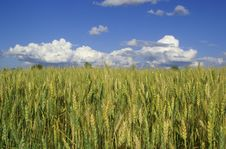 Free Gold Wheat Royalty Free Stock Image - 2789626