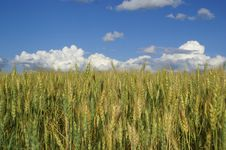 Free Gold Wheat Royalty Free Stock Photo - 2789655