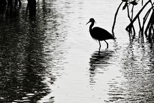 Free Egret In The Swamp Royalty Free Stock Images - 27800629