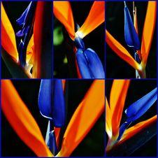 Stelitzia Reginae Collage Stock Photos