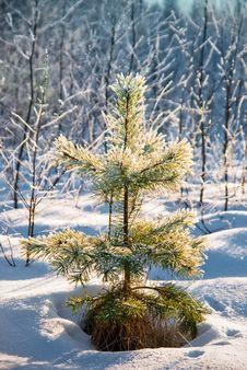 Small Pine Powder With Snow