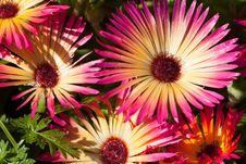 Free Colorful Daisies Close-up Royalty Free Stock Images - 27807979
