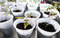 Free Young Tomato Plants Stock Photos - 27806603