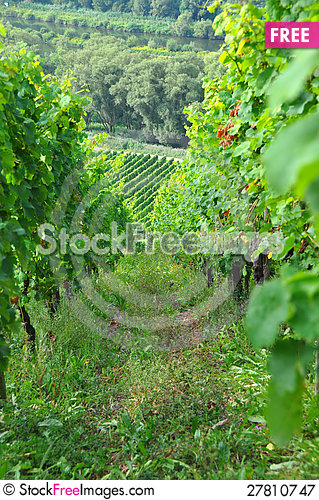 Free Vineyard - Grapevines Royalty Free Stock Photography - 27810747