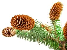 Free Sprigs Coniferous Tree With Cones Royalty Free Stock Images - 27812469