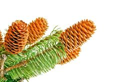 Free Sprigs Coniferous Tree With Cones Royalty Free Stock Images - 27812479