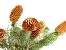 Free Sprigs Coniferous Tree With Cones Stock Photos - 27812483