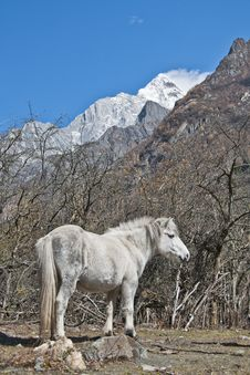 A White Horse At The Foot Of Snow Mountain Stock Images