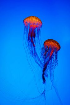 Free Jellyfish Stock Images - 27819254