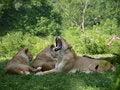 Free Yawning Lion Royalty Free Stock Photography - 27829217