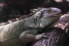 Free Iguana Royalty Free Stock Image - 27829726