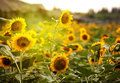Free Sunflower Stock Image - 27831291