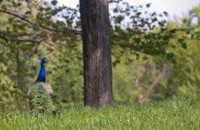 Free Peacock Stock Photo - 27830480