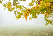 Free Branch Of Yellow Leaves And Fog In The Meadow Stock Images - 27832154